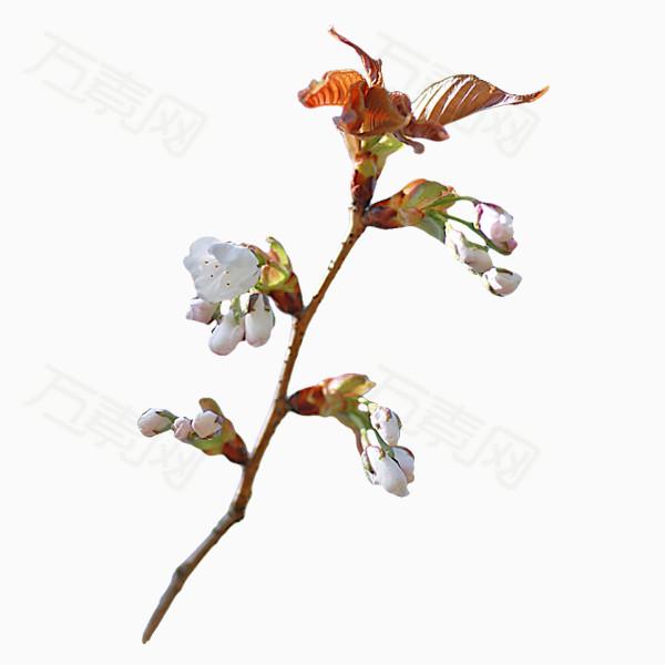 盛開花兒png免摳圖素材圖片免費下載_花卉植物_萬素網