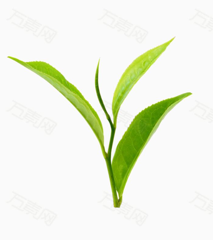 茶叶素材图片下载 茶叶 设计 png 绿色茶叶 清新 春天