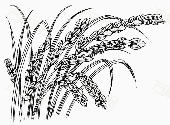 黑白手绘水稻
