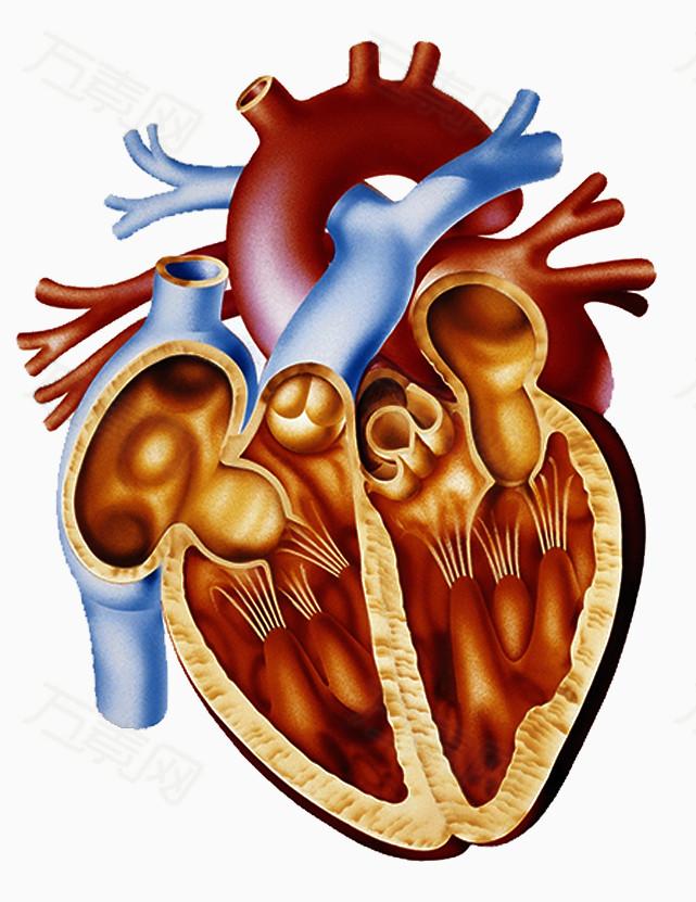 心脏剖面图
