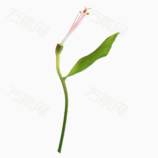 花骨朵png免抠图素材