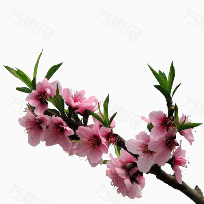 桃花png免摳圖素材圖片免費下載_花卉植物_萬素網
