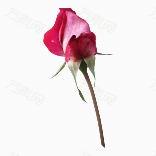 玫瑰花png免摳圖素材圖片免費下載_花卉植物_萬素網