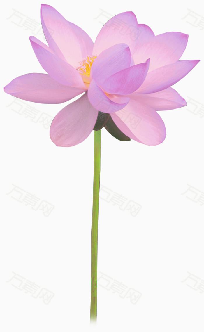 万素网 素材分类 紫色花瓣黄色花蕊的荷花