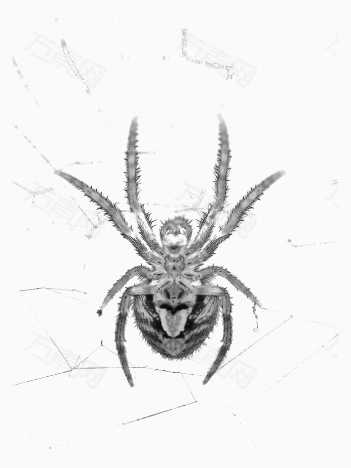 黑白蜘蛛网蜘蛛