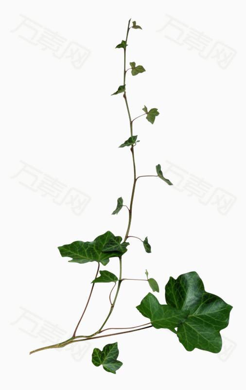 藤蔓類綠葉png免摳圖素材 圖片免費下載_花卉植物_萬