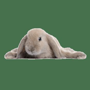 趴着的可爱兔子