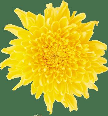 菊花茶菊花花朵