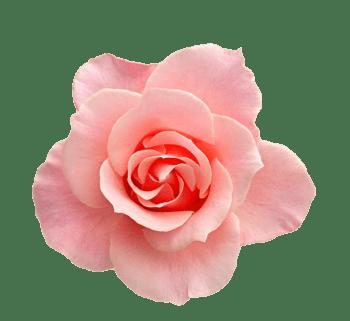 粉红色玫瑰花