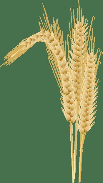 矢量麦子装饰设计素材
