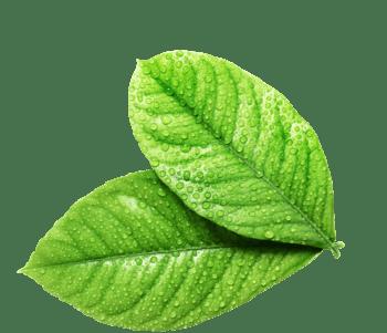 嫩绿色带水珠树叶