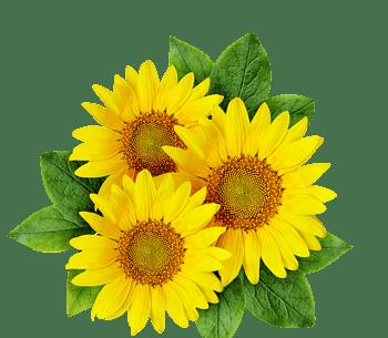 免扣黄色向日葵设计素材