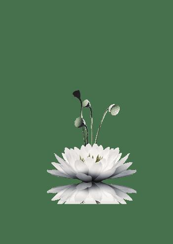 白莲花 莲藕 罕见植物 莲花边