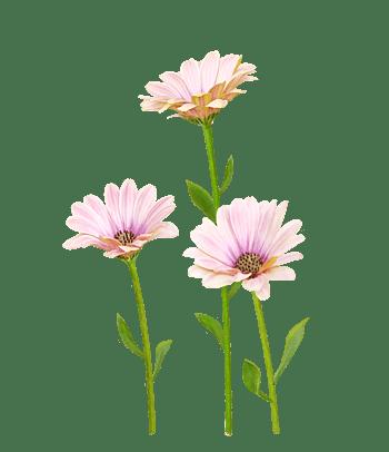 手绘淡粉色菊花