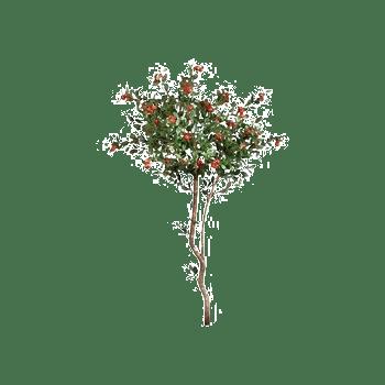结果的樱桃树