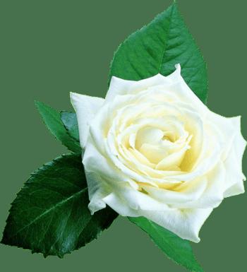 情人节用白玫瑰素材图片免费下载