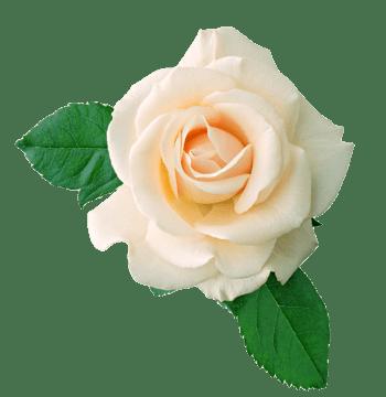 淡雅玫瑰花