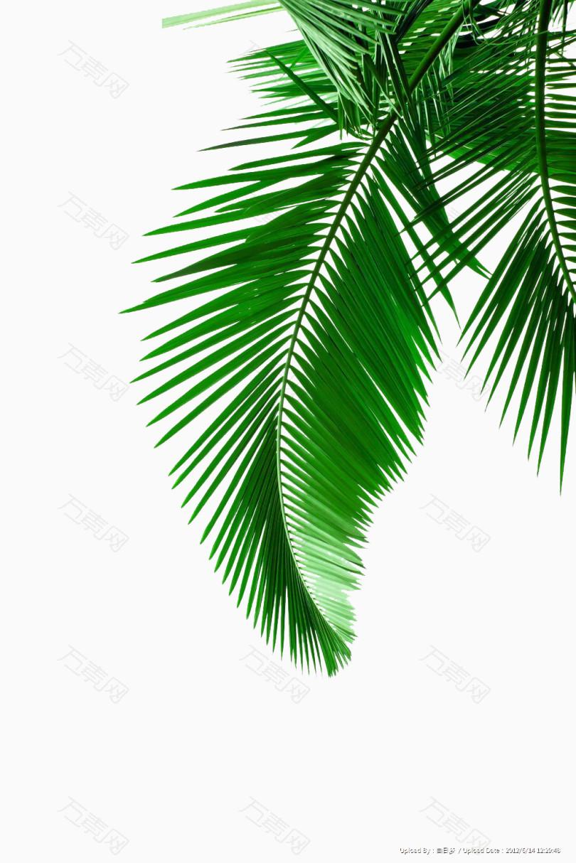 绿色椰子树叶图片素材