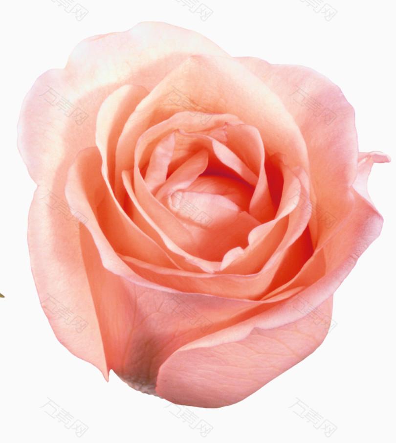 鲜花元素手绘鲜花素材 粉玫瑰